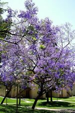 Paulownia tomentosa EMPRESS TREE❃100+ SEEDS❃Fastest Growing❃Shade❃Edible Flowers