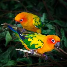 Two Sun Conures Parrots Bird Nature Art Poster 20'' x 20''