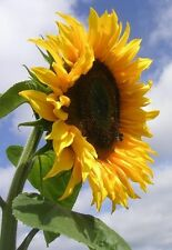New Pack Kings Seed Sunflower 'Giant Single' Quality Flower Seeds