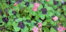 2-Oxalis deppei 'Iron Cross'  flowering size bulbs Good luck Plant By The Pond