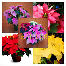 100 RARE Poinsettia Seeds, Euphorbia Pulcherrima, rare Flowering Plants seeds