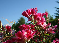 Sommerazalee 100 Samen Atlasblume Clarkia Amoena