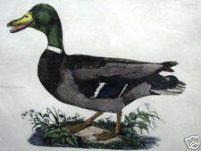 Common Wild Duck By Selby