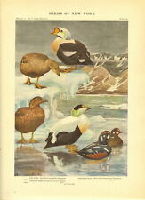 Rare 1916 Antique Bird Print ~ Eider Harlequin Duck  ~ Excellent Details