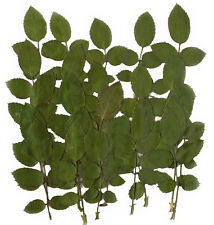 pressed flowers, rose leaves foliage 20 pieces