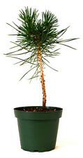 """Japanese Black Pine 4"""" Pot Bonsai Starter Plant Easy To Care Indoor/Outdoor GIFT"""