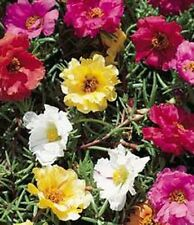 Moss Rose-Portulaca- Mix Colors- 200 Seeds - 50 % off sale