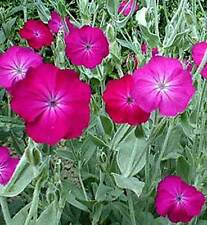 Lychnis coronaria - 500 graines-Rose Campion