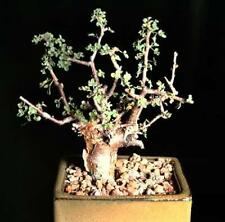Guggul myrrh tree, Commiphora wightii exotic caudex mukul bonsai seed 5 seeds