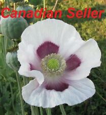 10,000 Tasmanian Poppy Seeds, Commercially grown for Highest Alkaloid Content!!