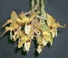 Orchid Stanhopea wardii species venezuela Exotic Tropical Plants
