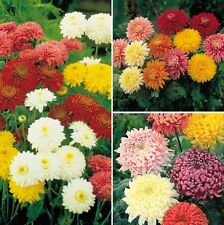 Chrysanthemum Mixed Multicolor 25 Seeds Combo Good quality seeds mixed Varieties