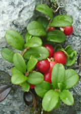 15 Mountain Crowberry Seeds TASTY BERRIES