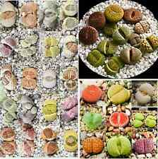 Living stones Lithops Variety MIX succulent mesembs stone cactus seed 100 SEEDS