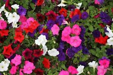 Petunia Dwart Mix Color,Flowers Seeds(o)  2,000 Seeds - Container ,ground cover