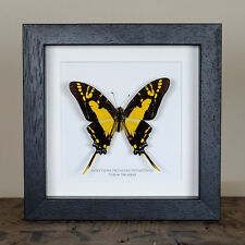 Yellow Swordtail butterfly frame. Taxidermy insect