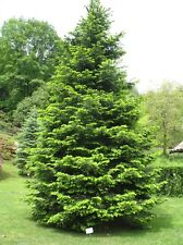Abies grandis / Grand Fir, stately Christmas tree grown peat free in 3L pot, 3ft