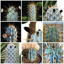 100 semi in miscuglio di Azureocereus mix ,piante grasse,seed cactus mix