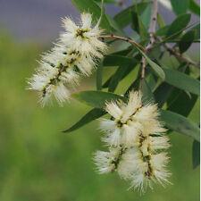 Melaleuca alternifolia / Arbre à Thé - lot de 50 graines