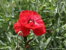 Poppy- Shirley Corn Red- 1000 Seeds - 50 % off sale