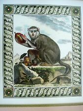 MONKEY - COLORED ETCHING PRINT - RED NOSE, LONG TAILED MONKEY -  FRAMED ART