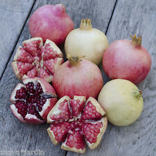 30 graines Grenadier en Mélange de variétés (Punica) Pomegranate Mix Samen Seeds