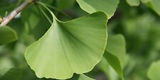 Ginkgo biloba (Maidenhair Tree)  - 10 seeds - Easy to Grow