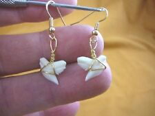 "(s818-1) modern 1/2"" Tiger SHARK TOOTH gold wired Earrings Teeth sharks jewelry"