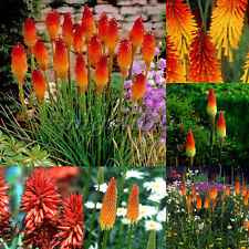 70Pcs Torch Lily (Kniphofia uvaria) Seeds Red Hot Poker Perennial Flowers Seeds