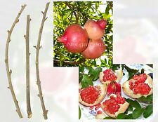 POMEGRANATE TREE CUTTINGS (FRESH) - Outstanding Sweetness - (6) Cuttings