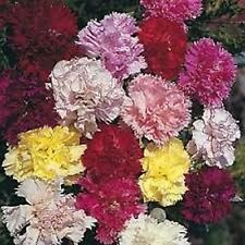 Carnation (Dianthus Caryophyllus Chabaud) - Mix colors- 50 seeds