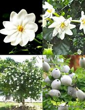Forest Gardenia thunbergia rare tropical fragrant flowering wild seed - 10 seeds