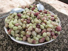 Rare seeds *Honey White Mulberry from Pamir *great dried or fresh-10 fresh seeds