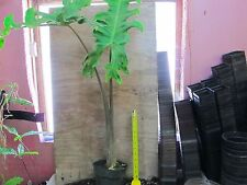 Alocasia Malaysian Monster - Awesome aroid / tuber / bulb! HUGE specimens