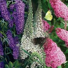 Butterfly Bush- Mixed Colors- 50 Seeds - 50 % off sale