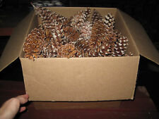 """50 Fresh White Pine Cones, Crafts, Decorations, Fire Starter, Large, 4-7"""""""