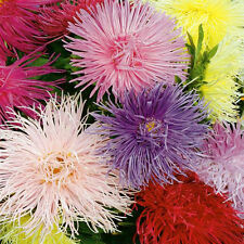 aster, china, CREGO MIX  flower, 555 seeds! groco