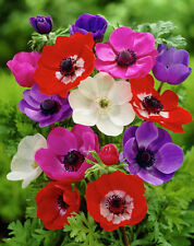 Winter Flower bulb - Anemone Single Petal Mix Colour  - 3 bulb