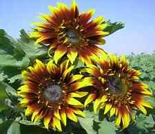 Sunflower Seeds - THE JOKER - Helianthus Annuus - Unique Blooms - 10 Seeds