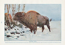 1910 NATURAL HISTORY DOUBLE SIDED PRINT ~ EUROPEAN BISON / AMERICAN BISON