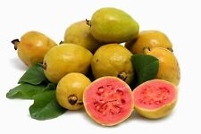 "30 Graines Goyave "" Psidium Guajava "" Guava tree seeds"