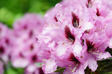 Rhododendron 'Kokardia' 40-60cm Tall In 5L Pot, Stunning Pink/Purple Flowers