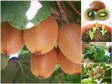 100 Seeds Green KIWI Fruit Tropical Fruit Bearing Vines Edible From Thailand.
