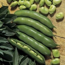 Dwarf Broad Bean The Sutton - 60 seeds  Sow Autumn Spring - Vegetable
