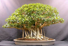 Banyan Fig (Ficus bengalensis )- 100 Seeds - Bonsai or Feature