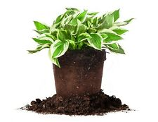 Patriot Hosta Size: 1 Gallon