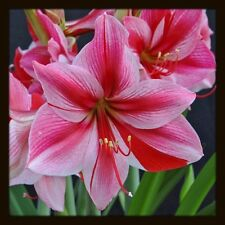 "Hippeastrum "" GERVASE "" Amaryllis ____ BULBS  ___________  The charming"