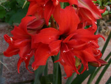 1 bulb*AMARYLLIS FanFare®*-Red Double flower-S. African Hadeco Hippeastrum Bulb
