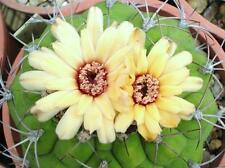 Gymnocalycium marquezii, rare cactus plant flowering succulent cacti  - 15 seeds