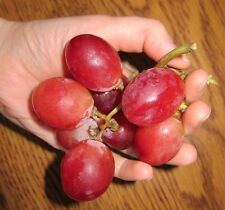 Grape Seeds - RED GLOBE - Mildly Sweet Fruit - Medicinal - Gmo Free - 15 Seeds